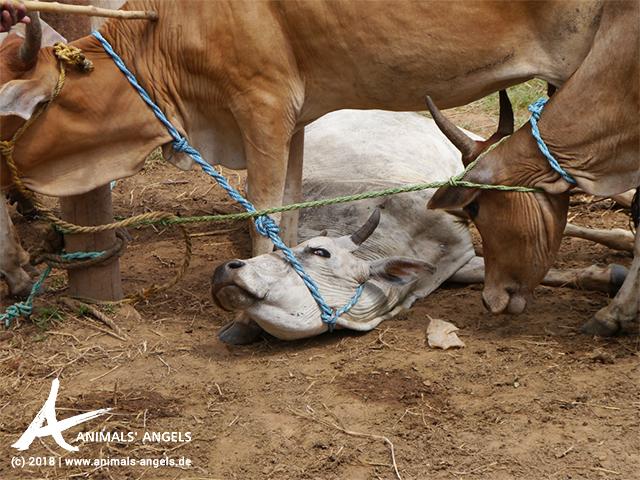Zusammengebundene Rinder auf dem Tiermarkt in Jogumpeta, Indien