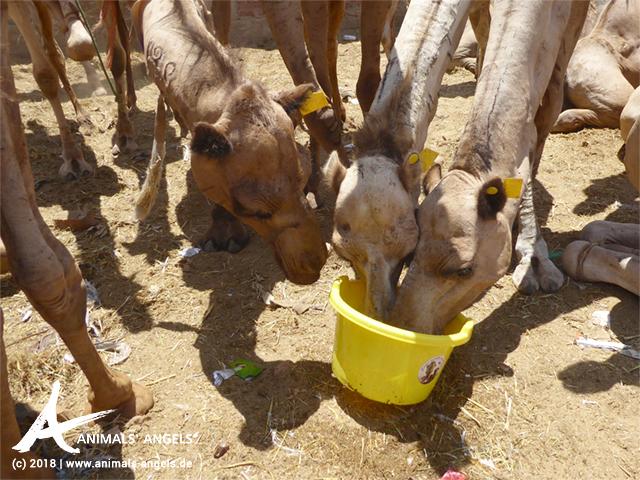 Animals' Angels tränkt die Kamele auf dem Tiermarkt in Birqash, Ägypten