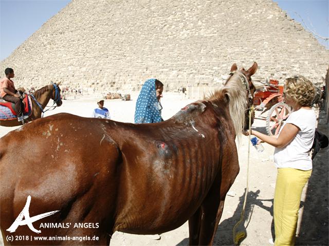 Animals' Angels sieht nach den Pferden bei den Pyramiden von Gizeh