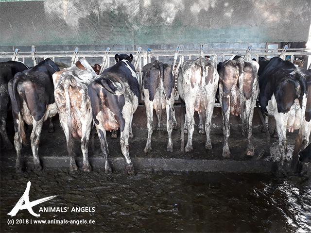 Milchkuhhaltung in Spanien