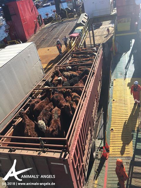 Lkw mit Kälbern auf einer Fähre in Chile