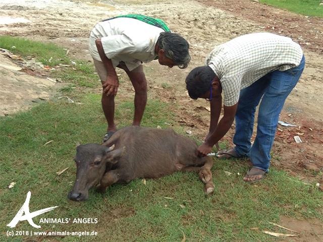 Nothilfe für Büffelkälber