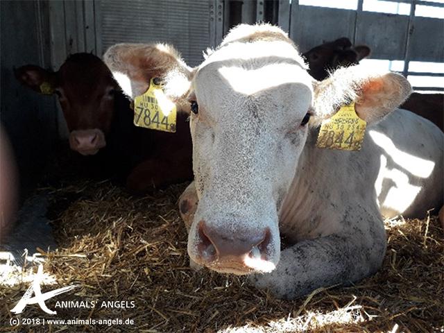 Rind in einem Tiertransport aus der EU in die Türkei