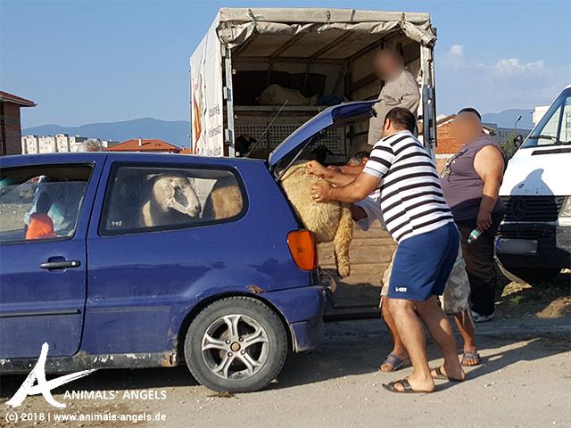 Tiermarkt in Bulgarien: Ein Schaf wird in einen Kofferraum gezwängt