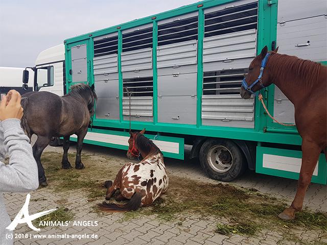 Pferde auf dem Tiermarkt in Pajeczno, Polen