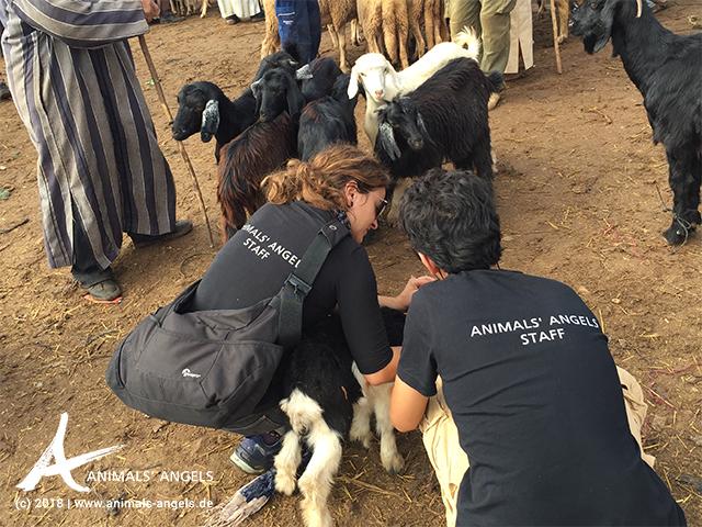 Animals' Angels im Einsatz auf dem Tiermarkt Houderrane, Marokko