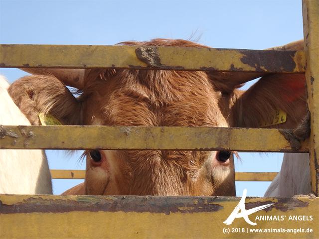 Rind auf einem Tiertransport im Libanon