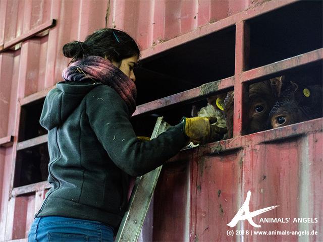 Animals' Angels kontrolliert einen Kälbertransport an Bord eines Fährschiffes in Chile