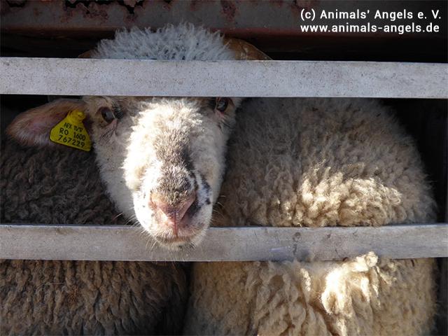 Sheep Transport EU