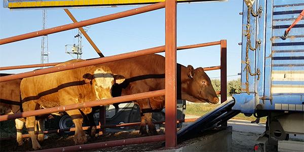 Die Bullen werden wieder auf den Transporter Richtung Irak verladen